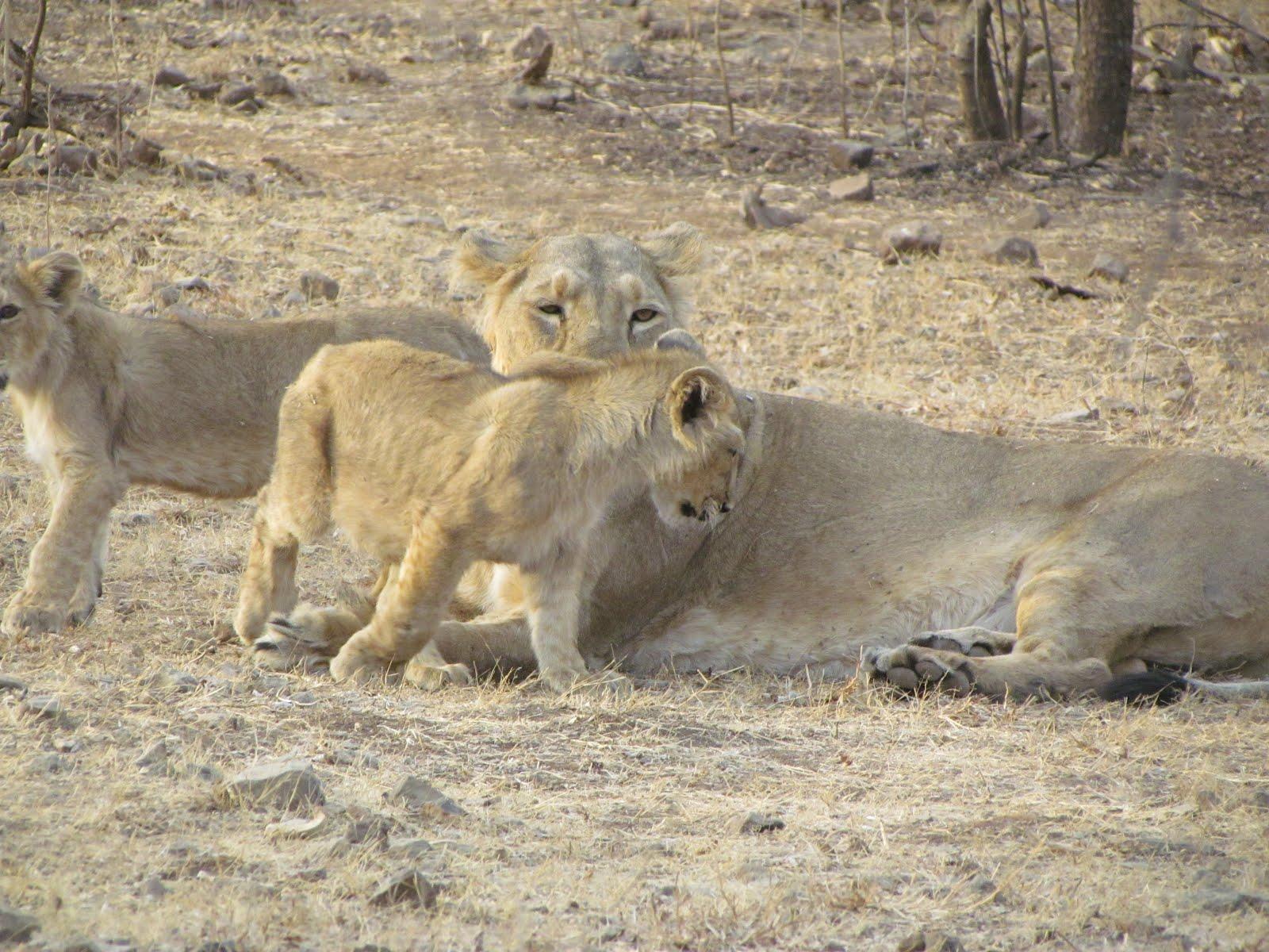 Asiatic Lion S At Gir National Park India Adler Tours