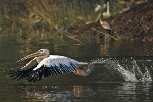 Great White Pelican Captured at Khijadia Bird Sanctuary