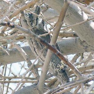 pallid-scops-owl