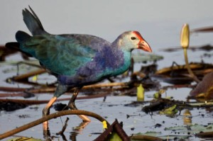 Purple Moorhen at Randarda Lake, Rajkot, Gujarat, India