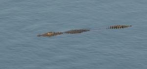 Crocodile at Kamleshwar Dam, Sasan Gir, Gujarat, India
