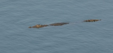 Crocodile at Kamleshwar Dam, Sasan Gir, Gujarat, India