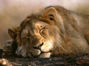 asian-lion-sleeping_452_990x742