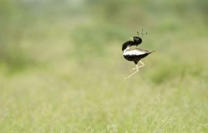 lesser_florican_display5722a