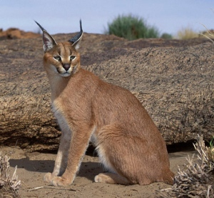 Caracal, Felis caracal, Augrabies Falls National Park, N. Cape, South Africa