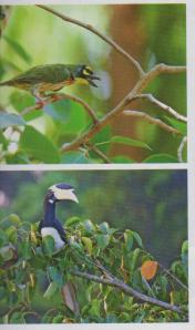 hornbill and green pop