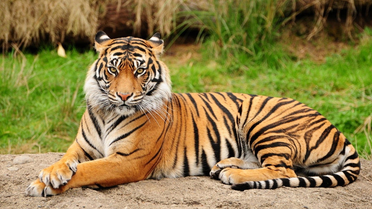 bengal tiger rainforest