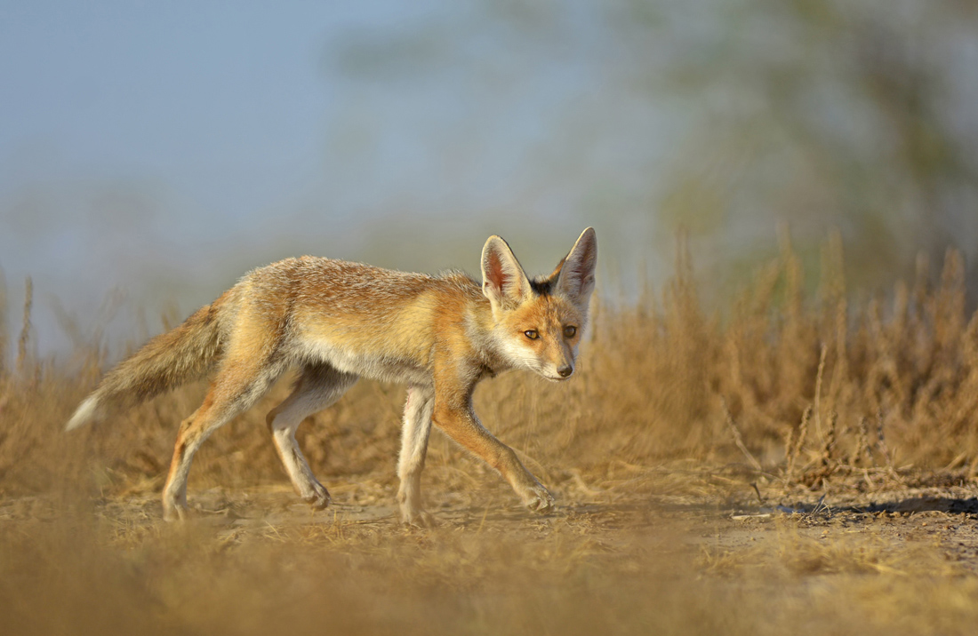 Foxes in the desert - photo#5