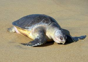 ridlet turtle